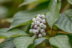 Snowberry after rain Royalty Free Stock Image
