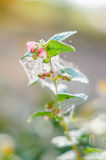 Snowberry ripe berries in the autumn garden Royalty Free Stock Photos