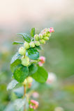 Snowberry ripe berries in the autumn garden Royalty Free Stock Images