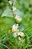 Snowberry ripe berries in the autumn garden Royalty Free Stock Image