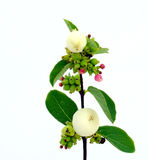 Snowberry. Symphoricarpos albus plant with ripen fruits and flowers Stock Images