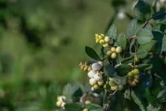 Snowberry - vita bär och sidor för Symphoricarpos arkivfoton