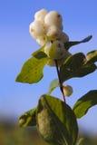 Snowberry, Waxberry eller Ghostberry Arkivbilder
