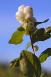 Snowberry, Waxberry or Ghostberry Stock Images