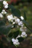 Snowberry white Stock Image