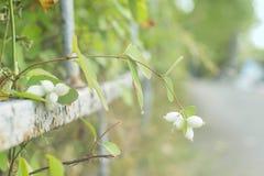 Snowberrybuske, filial med vita bär Arkivbilder