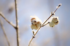 Snowberryträd Arkivbild