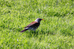 Snowbird on the green grass Royalty Free Stock Photography