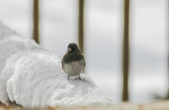 Snowbird im Schnee (2) Lizenzfreies Stockfoto