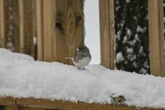 Snowbird im Schnee Lizenzfreies Stockfoto