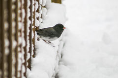Snowbird Royalty Free Stock Images
