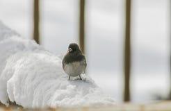 Snowbird na neve (2) Foto de Stock Royalty Free