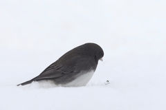 Snowbird. Often referred to a s snowbird, the common junco eyes a seed atop the snow Stock Photo