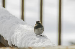 Snowbird in the snow.(3) Royalty Free Stock Photo