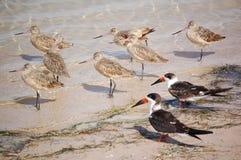 Snowbirds-Gemarmorte Schnepfe und Abstreicheisen Stockfoto