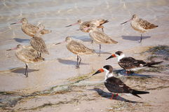 Snowbirds-Marbled Godwit and Skimmers Stock Photo