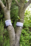 Snowboard belts on a tree for protection against ants stock photo