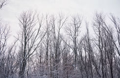 Snowbound bare forest Stock Photos