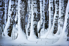 Snowbound birches in the forest Royalty Free Stock Image