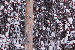 Snowbound branches of ashberry and large pine. In beautiful winter forest Stock Images