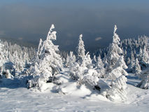 Snowbound firs. Stock Photos