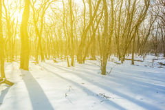 Snowbound forest in a long shadow Royalty Free Stock Photography