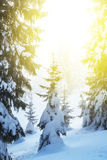 Snowbound forest in a rays of sun scene Stock Image