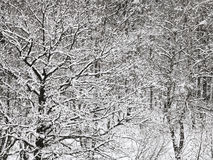 Snowbound oak and birch forest in winter Royalty Free Stock Photography