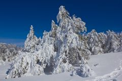 Snowbound pine tree forest. By a winter day Stock Photo