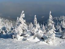 Snowbound Tannen. Stockfotos