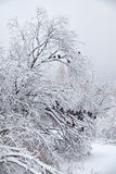 Snowbound trees under snow in winter. Pigeons on brunches Stock Images