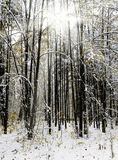 Snowbound trees in winter forest Royalty Free Stock Images