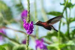 Snowcap, που πετά δίπλα στο ιώδες λουλούδι, πουλί από το τροπικό δάσος βουνών, Κόστα Ρίκα, φυσικός βιότοπος, ενδημικός στοκ φωτογραφία με δικαίωμα ελεύθερης χρήσης