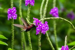Snowcap, flying next to violet flower, bird from mountain tropical forest, Costa Rica, natural habitat, endemic royalty free stock photography