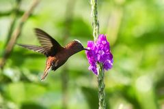 Snowcap, flying next to violet flower, bird from mountain tropical forest, Costa Rica, natural habitat, endemic royalty free stock image