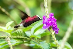 Snowcap, flying next to violet flower, bird from mountain tropical forest, Costa Rica, natural habitat, endemic royalty free stock photo