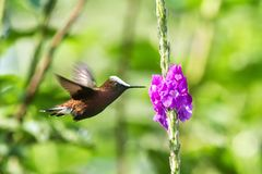 Snowcap, flying next to violet flower, bird from mountain tropical forest, Costa Rica, natural habitat, endemic stock images