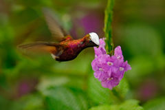 Snowcap, Microchera albocoronata, rare hummingbird from Costa Rica, red-violet bird flying next to beautiful pink flower, action f Royalty Free Stock Image