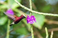 Snowcap, volant à côté de la fleur violette, oiseau de forêt tropicale de montagne, Costa Rica, habitat naturel, endémique photographie stock libre de droits