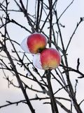 Tranquil rural scene of a snowcapped ripe apples covered with thick snow are hanging on a branch. royalty free stock photos