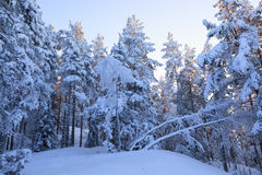 Snowcapped trees forest Stock Image