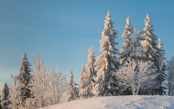 Snowcapped trees on a little hill. Snowcapped fir trees and small bare trees on a little snowy hill in the sun. Blue sky Stock Photo