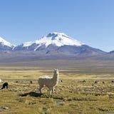 The snowcapped volcanoes Parinacota and Pomerane. Bolivia Royalty Free Stock Image