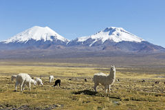 The snowcapped volcanoes Parinacota and Pomerane. Bolivia Stock Image