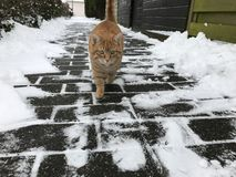 Snowcat. Gingercat in the snow Stock Photography