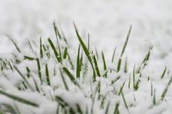 Snowcovered трава Стоковое Фото