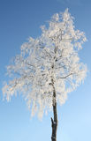 Snowcovered Birch Stock Photo