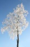 Snowcovered Birke stockfoto
