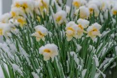 Snowcovered daffodils Стоковые Изображения