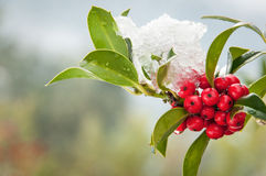 Snowcovered holly twig with berries Stock Image